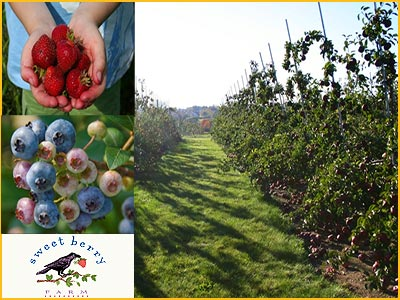 picking fruit at sweet berry farm