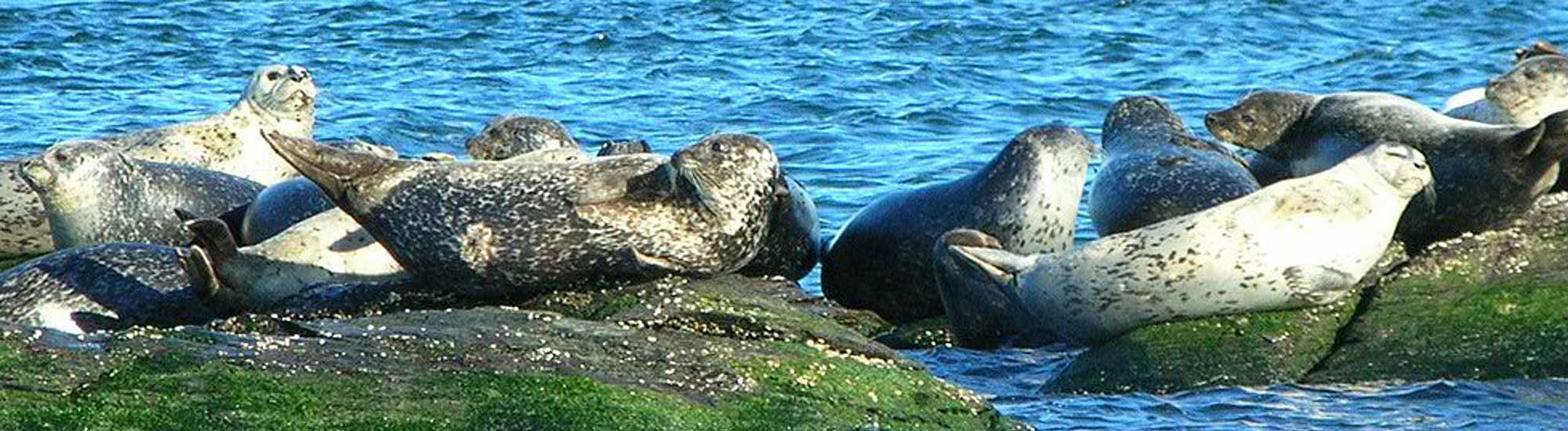 harbor seals enjoying the winter